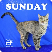 Domestic Shorthair Cat for adoption in Carencro, Louisiana - Sunday
