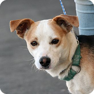 Beagle Mix Dog for adoption in Palmdale, California - Reiley