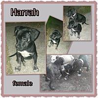 Adopt A Pet :: Harrah - Richmond, CA