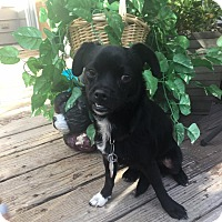 Adopt A Pet :: Jade - Denver, CO