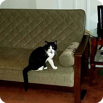 American Shorthair Cat for adoption in New York, New York - Aristotle
