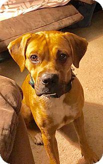 Boxer/Shepherd (Unknown Type) Mix Dog for adoption in Lima, Pennsylvania - Fanny Mae