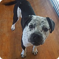 Adopt A Pet :: Roman - Maryville, IL