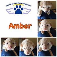 Adopt A Pet :: Amber - Folsom, LA