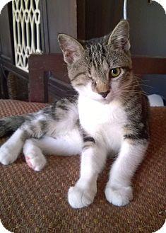 Domestic Shorthair Kitten for adoption in Charlotte, North Carolina - Uno