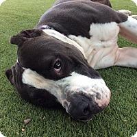 Adopt A Pet :: Beethoven - Santa Monica, CA