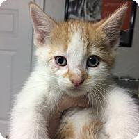 Adopt A Pet :: Simon - St. Louis, MO