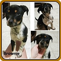 Adopt A Pet :: BROWNIE - Malvern, AR