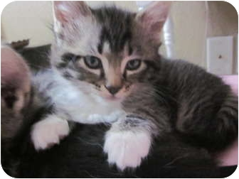 Domestic Shorthair Kitten for adoption in Davis, California - Topeka