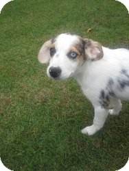 Australian Shepherd/Beagle Mix Puppy for adoption in Marlton, New Jersey - Chloe