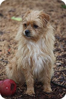 Cairn Terrier Pekingese Mix Dog For Adoption In Prince
