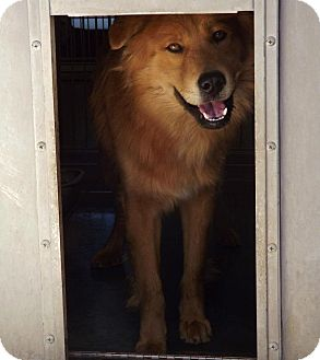 Chow Chow/Golden Retriever Mix Dog for adoption in San Diego, California - Benjamin Urgent