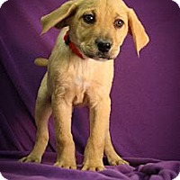 Adopt A Pet :: Wogs - Broomfield, CO