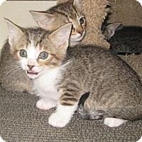 Adopt A Pet :: Pulsar - Dallas, TX
