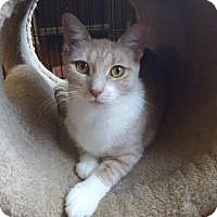 Adopt A Pet :: Darcy - Berkeley Hts, NJ