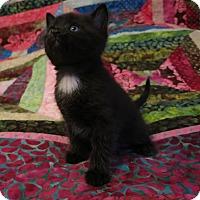 Adopt A Pet :: Ronda - Geneseo, IL