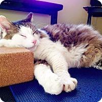 Adopt A Pet :: Chubbers - Arlington/Ft Worth, TX