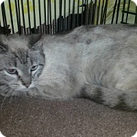 Siamese Kitten for adoption in Bethpage, New York - Lynxy