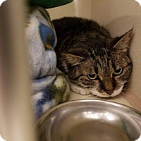 Domestic Shorthair Cat for adoption in Westbury, New York - Lola