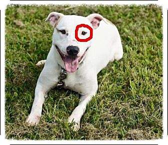 Bull Terrier Mix Dog for adoption in Franklin, Tennessee - Rocko