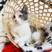 Calico Kitten for adoption in Montclair, California - Victoria