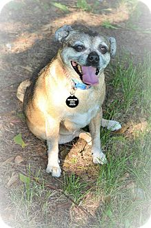 Pug/Chihuahua Mix Dog for adoption in Eastpointe, Michigan - Candy