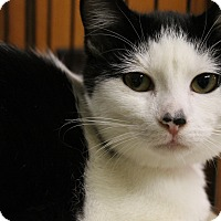 Domestic Shorthair Kitten for adoption in Medina, Ohio - Ares
