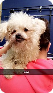 Poodle (Miniature) Mix Dog for adoption in Willows, California - Dave