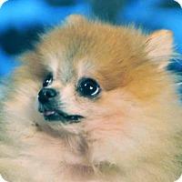 Adopt A Pet :: Manny - Vernonia, OR