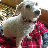 Adopt A Pet :: Pippa - joliet, IL