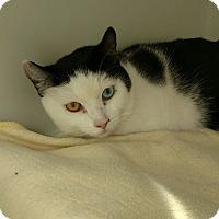 Adopt A Pet :: Bronco - Divide, CO