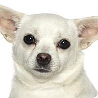 Chihuahua Mix Dog for adoption in Fort Lauderdale, Florida - Bubbles