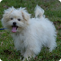Adopt A Pet :: Brie - Anderson, SC