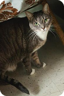 Domestic Shorthair Cat for adoption in Fresno, California - Tabatha Gray