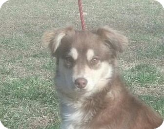 Australian Shepherd Mix Puppy for adoption in Spring Valley, New York - Banjo