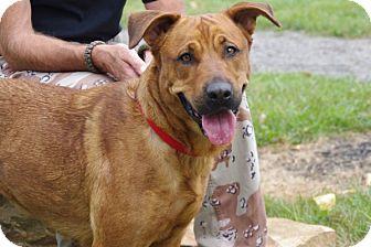 Kacie | Adopted Dog | 13D08092 | Elyria, OH | Rhodesian ...
