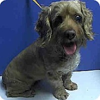Cocker Spaniel/Terrier (Unknown Type, Medium) Mix Dog for adoption in Flushing, New York - Pecan Pie Penny