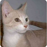 Domestic Shorthair Cat for adoption in Stuarts Draft, Virginia - Ozzie