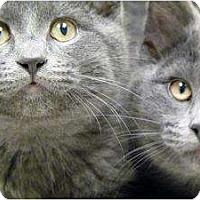 Adopt A Pet :: Anastasia & Nikolay Siblings - Chicago, IL
