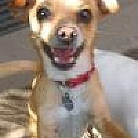Chihuahua/Italian Greyhound Mix Dog for adoption in Los Angeles, California - Cisco