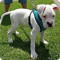 Adopt A Pet :: Ayumi - West Los Angeles, CA