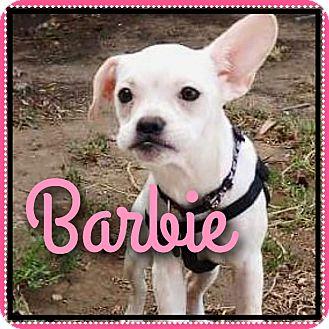 Phoenix, AZ - French Bulldog/Blue Heeler Mix. Meet Barbie ...