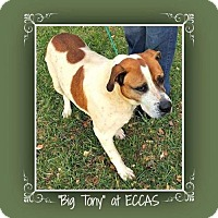 Adopt A Pet :: Big Tony - Elizabethton, TN