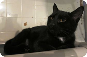 Domestic Shorthair Cat for adoption in Geneseo, Illinois - Sabrina