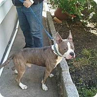 Adopt A Pet :: URGENT!FOSTER/ADOPT MUnson - Shrewsbury, NJ