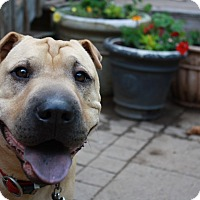 Shar Pei Mix Dog for adoption in Nashua, New Hampshire - Tucker