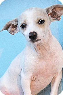 Chihuahua/Terrier (Unknown Type, Small) Mix Puppy for adoption in Yuba City, California - Ziggy