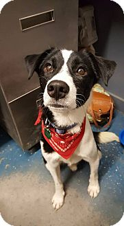 Border Collie Mix Dog for adoption in Allen, Texas - Hank
