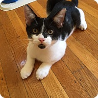 Domestic Shorthair Kitten for adoption in Bensalem, Pennsylvania - Diego