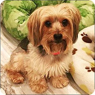 Yorkie, Yorkshire Terrier Dog for adoption in Whiting, New Jersey - Meggie